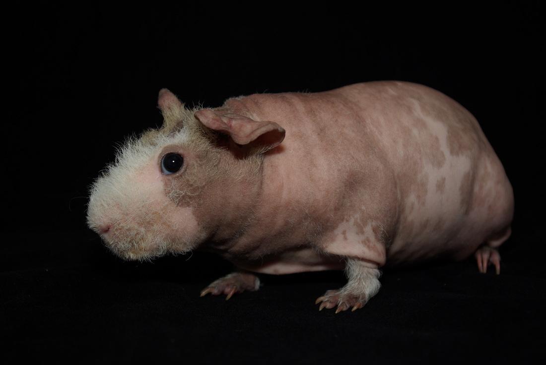 Dalmation Skinny Pigs moreover Calico besides Feuille De Chne En Bronze Pour Prsenter Les Dfenses De Sanglier  2969 also 07lglf017 additionally KuneLitter9August2010. on boars